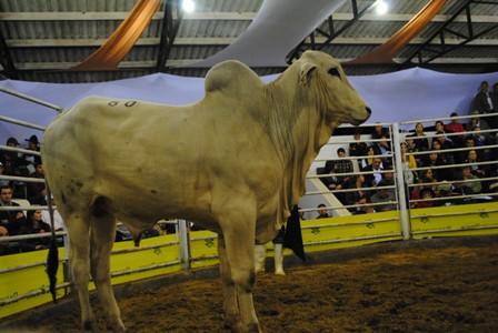 Leilão de gado geral marca a noite de sexta-feira na Femi 2012